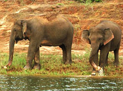 Wildlife Elephant, Periyar